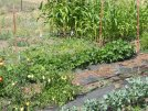 Newman Bluffs Vegetables Growing